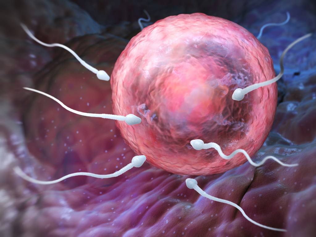 Sperm penetration of the ovum